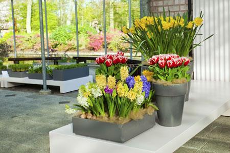Гиацинт в горшке, тюльпаны и нарциссы. Почему не цветут и еще 10 вопросов - «Дом»