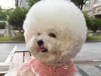 Собака, похожая на шар, влюбила в себя пользователей Сети - Домашние питомцы ... - «Дом»