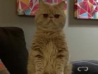 Знакомьтесь: кот, который постоянно стоит на двух лапах (фото) - Домашние питомцы ... - «Дом»