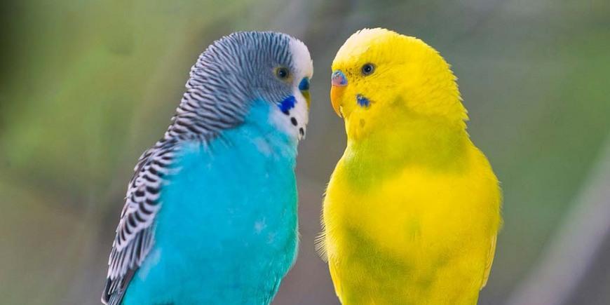 Как попугаи научились говорить