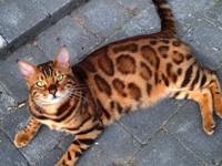 Домашний леопард: необычный кот стал новой звездой Сети - Домашние питомцы ... - «Дом»