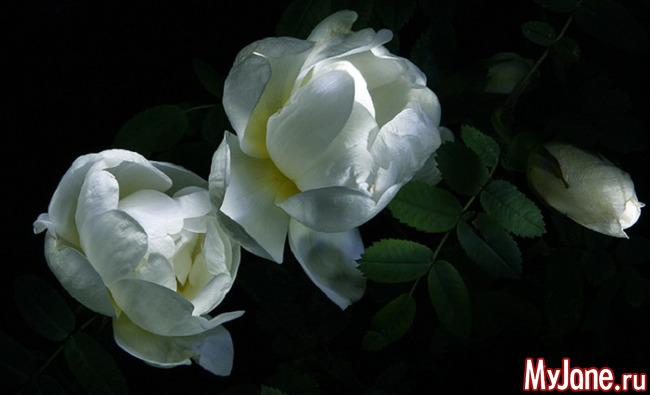 Цветы ночи: ноктюрн в лунных тонах - «Стиль жизни»