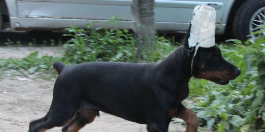 Купирование: фантомные боли у собак