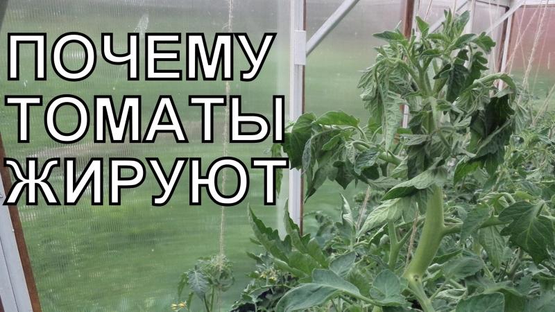 как выглядят жиреющие помидоры на фото