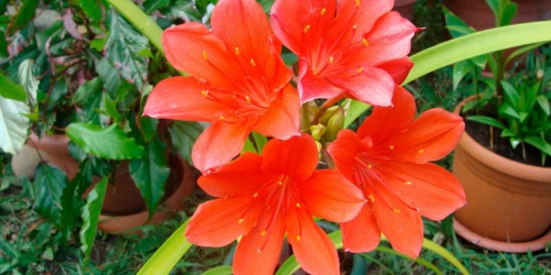 Огненная лилия Валлота - «Стиль жизни»