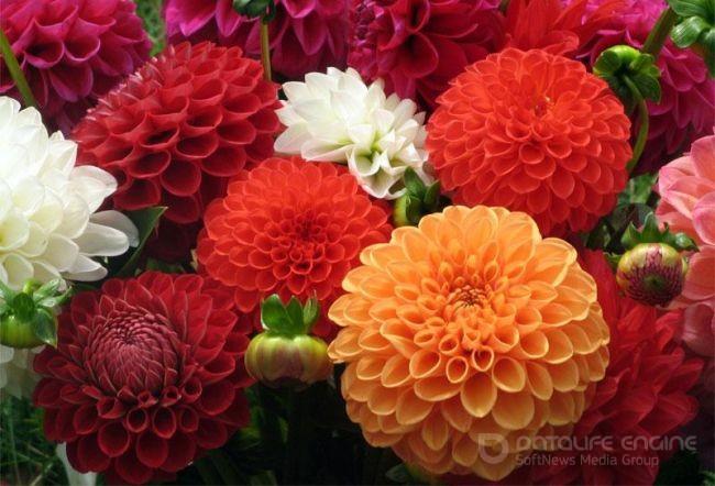 Георгины - самые неприхотлевые цветы