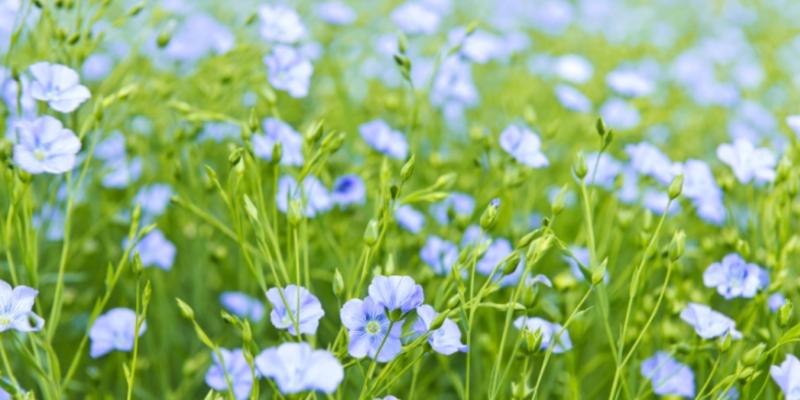 Как вырастить лён в саду - «Стиль жизни»