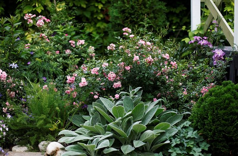 15 компаньонов для роз, фото. Миксбордеры из многолетников - «Дом»